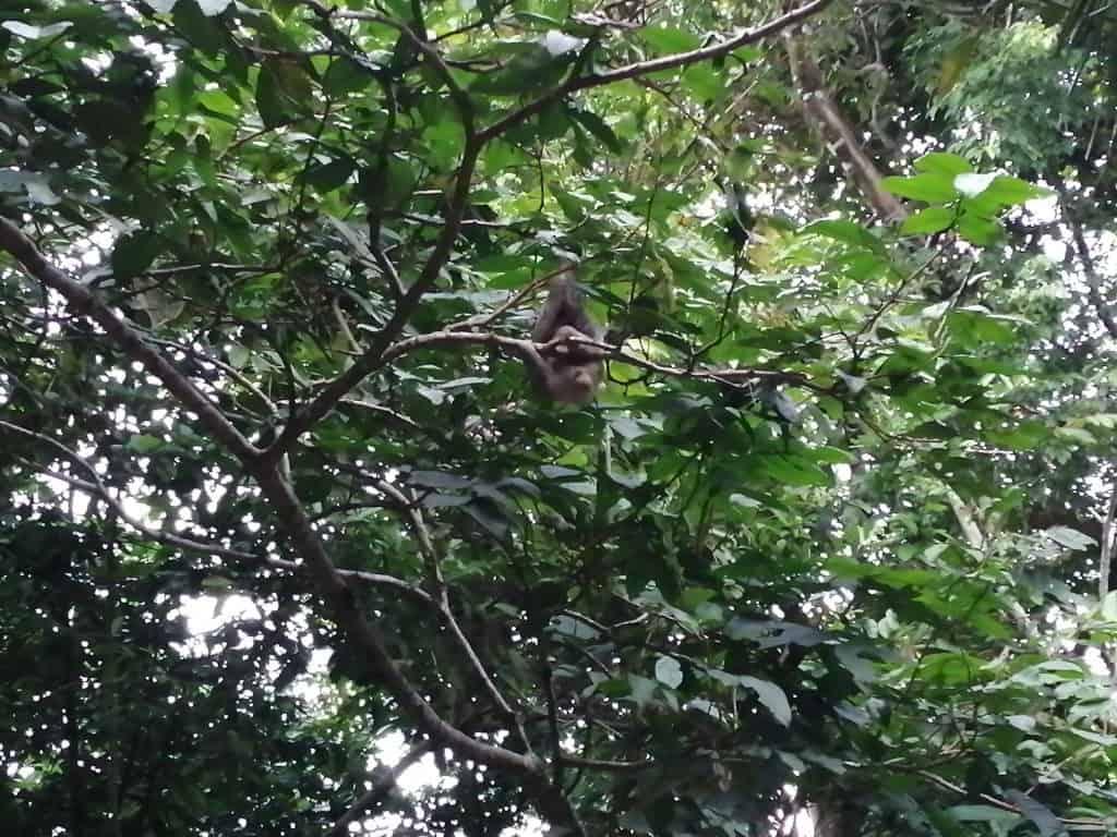 Oso Perezoso en la rama de un árbol.